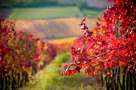 Vines in Autumn