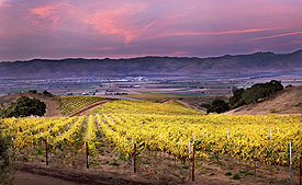 Vineyard at Dusk