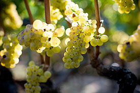 Sonoma Coast Chardonnay Grapes