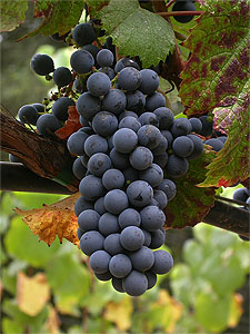 Chalk Hill's Malbec Grapes