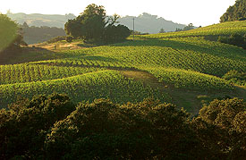 Chalk Hill's Rolling Vineyards