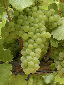 Chalk Hill's Chardonnay Grapes