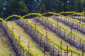 Keenan Vineyard Rows