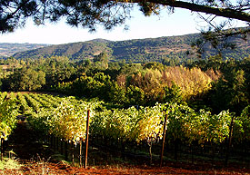 Robert Craig's Affinity Vineyard