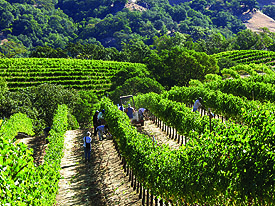 Pym Rae Vineyard on Mount Veeder