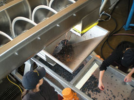 Sorting Grapes at Robert Craig Winery