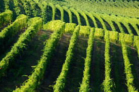 rolling_green_vines_small