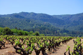 A Salvestrin Vineyard