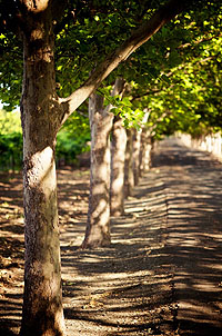 Path along Swanson's Oakville Vineyard